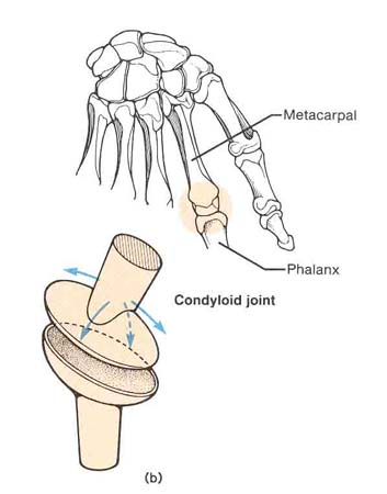 Condyloid Joint http://pioneer.netserv.chula.ac.th/~bkritcha/figure/pages/condyloid.htm